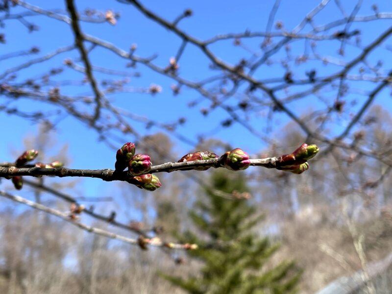 星野エリアの桜・2021415