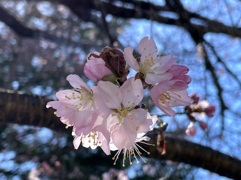 星野エリアの桜2021422