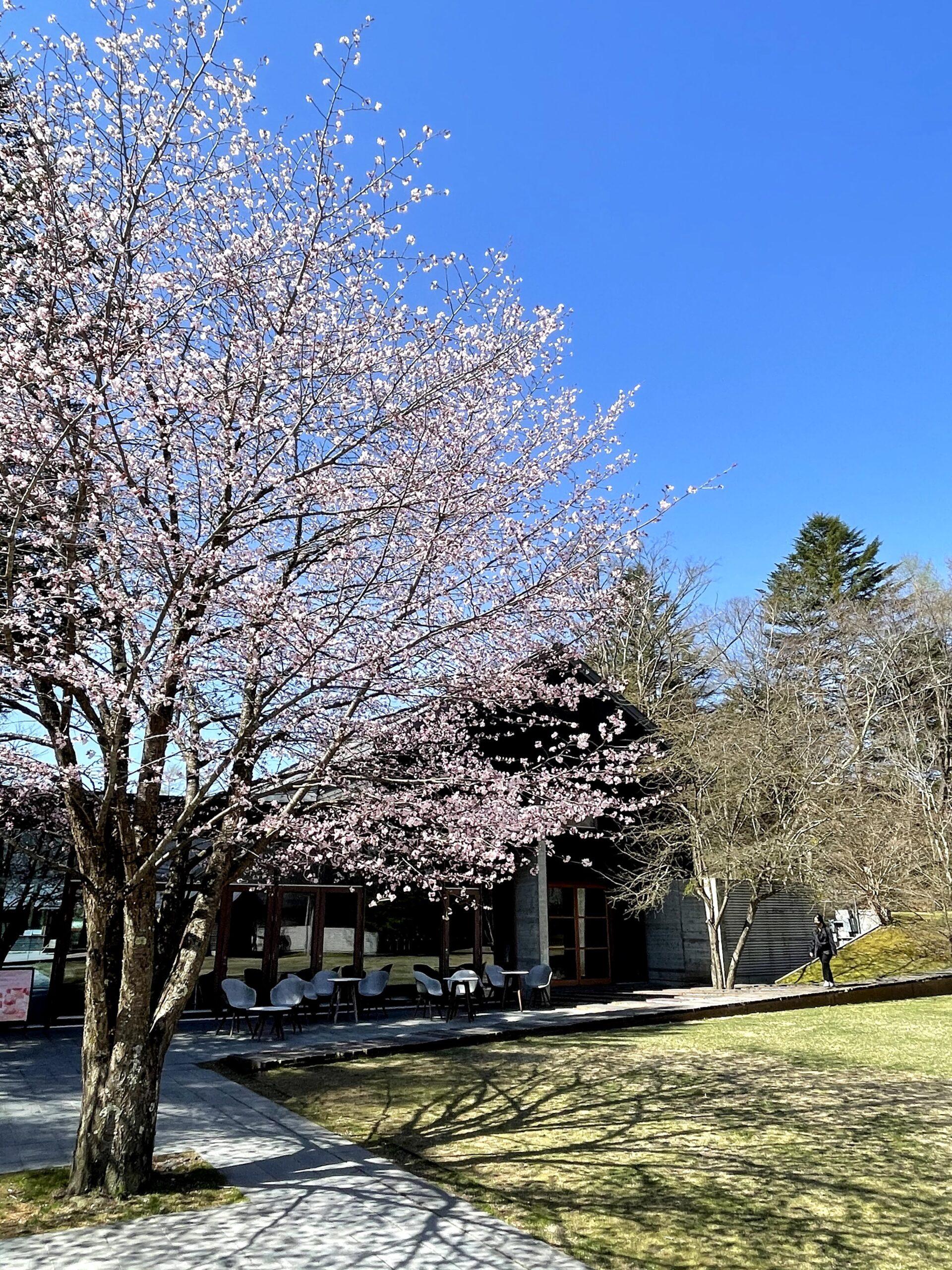 星野エリアの桜2021423