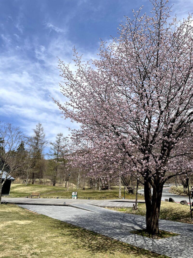 星野エリアの桜2021424