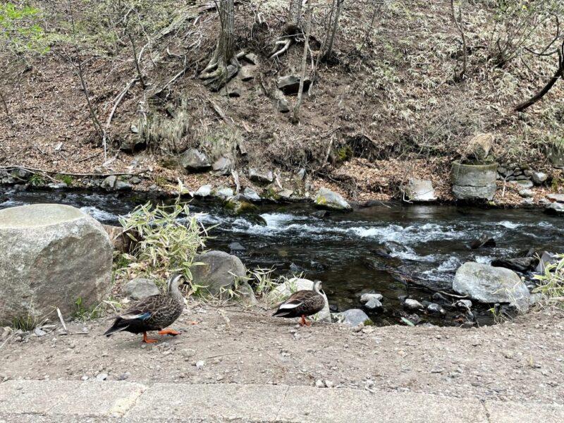 軽井沢の遊歩道で出会った鴨