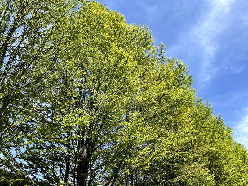 5月の軽井沢は新緑が素晴らしい・カツラ