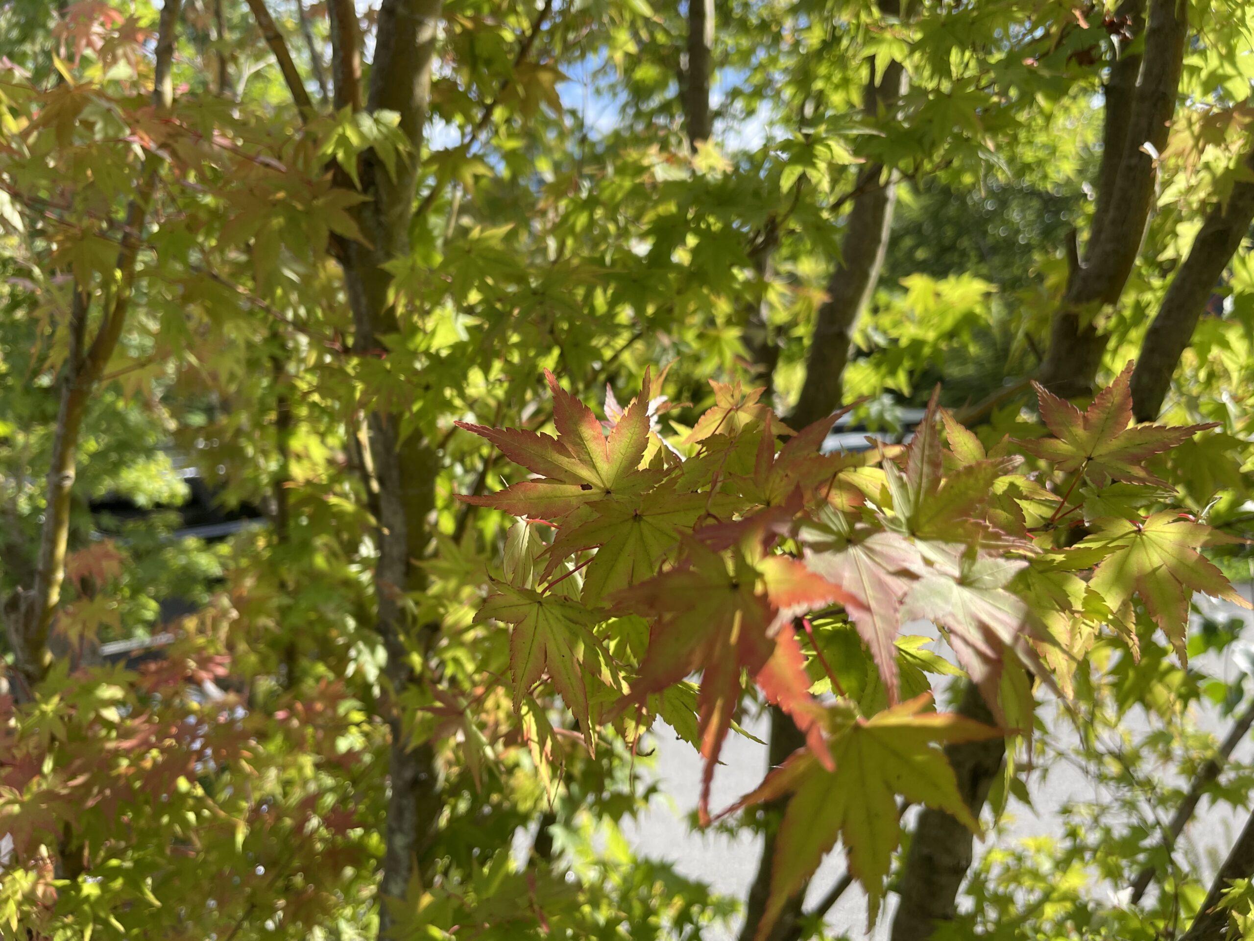 8月末の軽井沢は木々の葉がほんのり色づいている