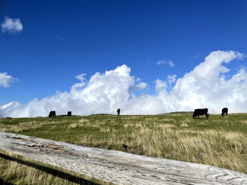 美ヶ原高原で牛たちの営みを見て心が穏やかになる
