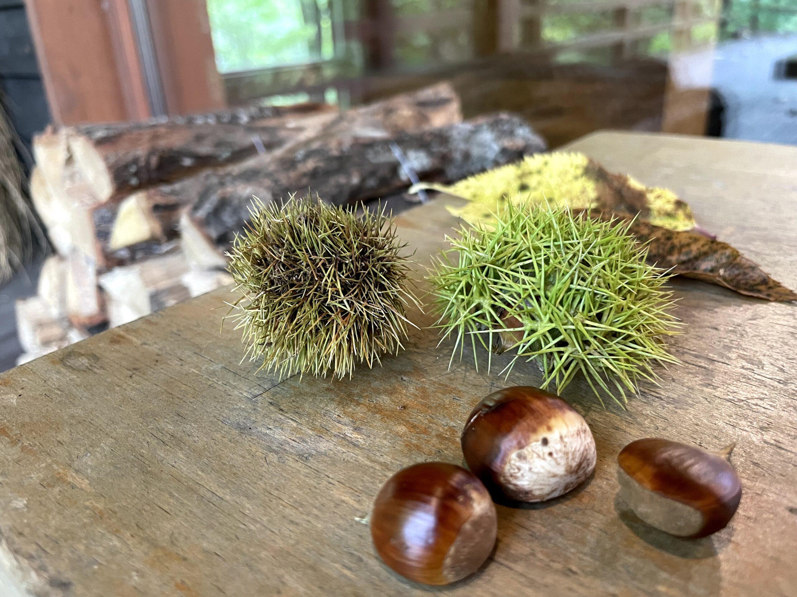 軽井沢は栗拾いが楽しめる季節になりました
